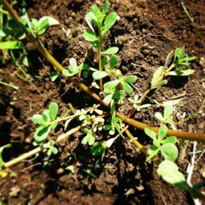 畑に生えてくる雑草、スベリヒユを美味しく食べる!簡単レシピ