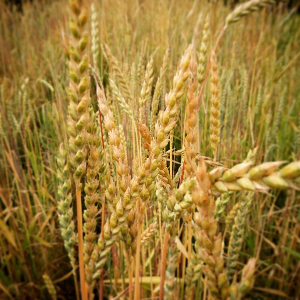 古代小麦。スペルト小麦を育てて収穫してみた。