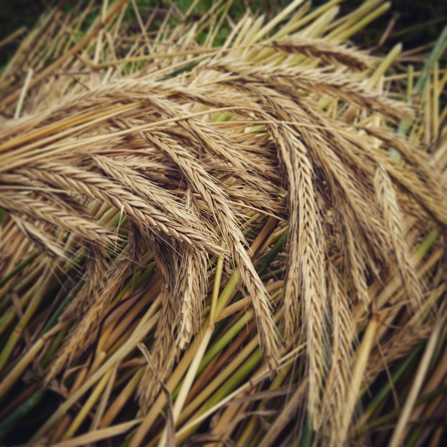 無施肥・無農薬。自然栽培でライ麦を育ててみた。vol.1